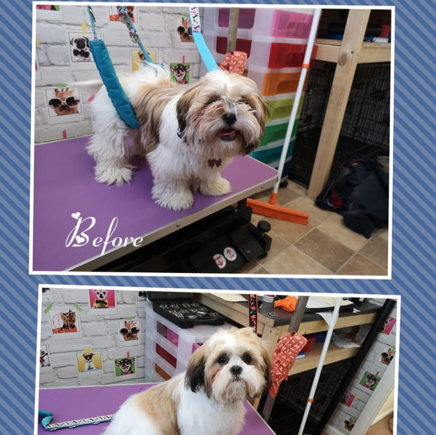 This lovely little pup had a full groom
