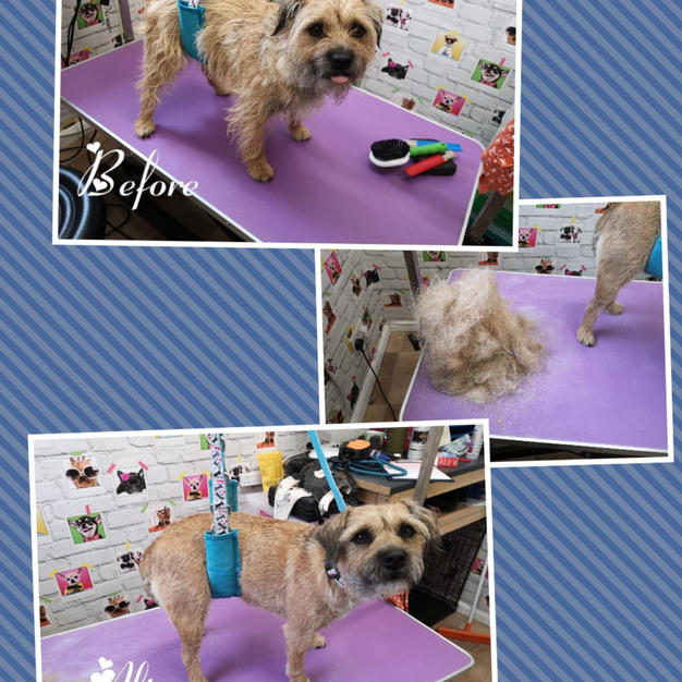 This little border terrier came in for a hand strip