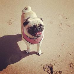 #pug #petsoutdoors #dogwalking #dogwalkinglife #exmouthdevon #instadogs #exmouthdogwalker #dogs #biz