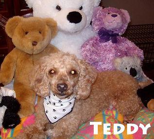Teddy Poodle 2.jpg