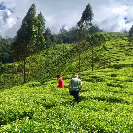 Предимствата на екстракта от бял чай