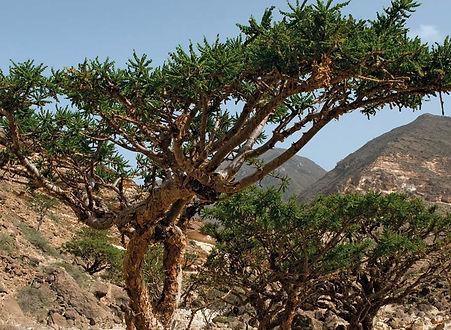 frankincense-Oman.jpg
