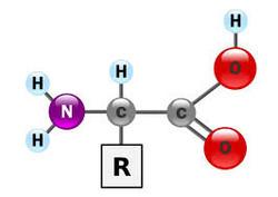 acide_aminé