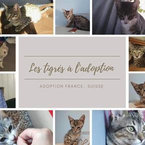 Les chatons tigrés à l'adoption