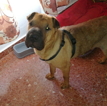 NOS SHARPEI A L'ADTOPTION