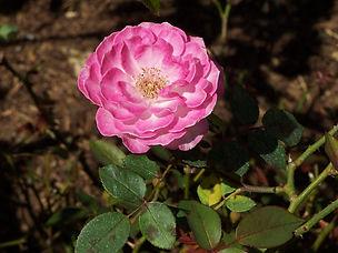 tn-rose-lg.jpg