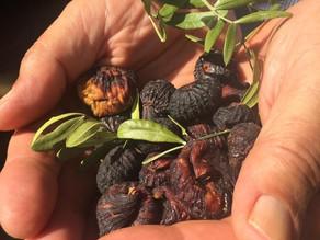 Figos pretos secos de Alcanena