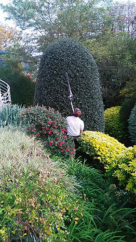 taille houx ilex taille haie perche entretien jardin parc annuel Meudon Clamart Boulogne Billancourt Sèvres Paris Neuilly