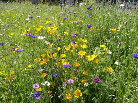 Premières photos des prairies fleuries Meudonnaises