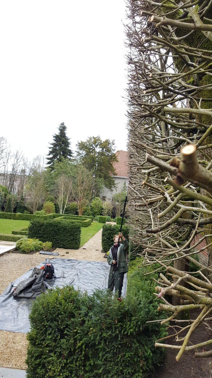 1 Taille d'arbres en rideau / Vaucresson