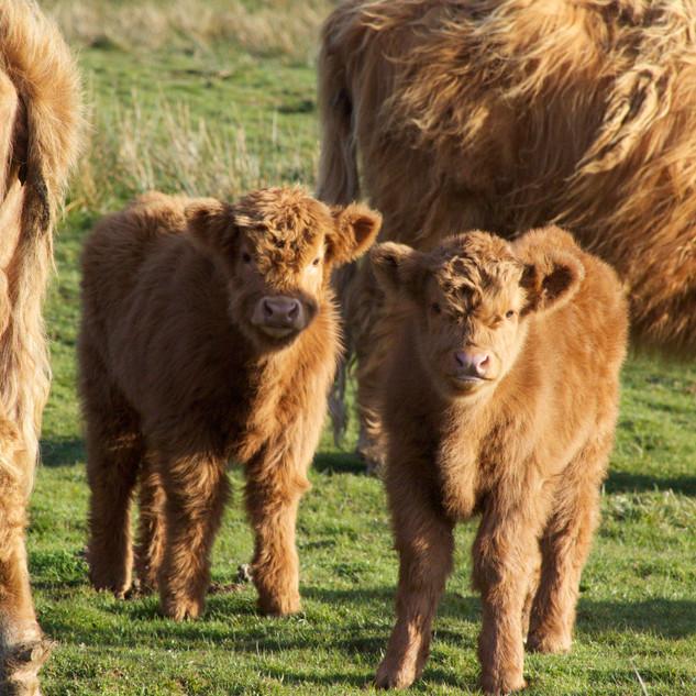 Our calves