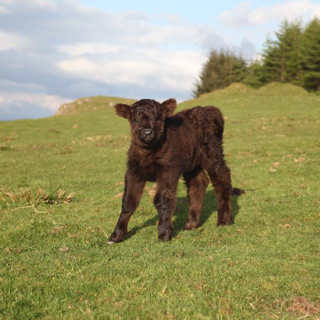 Crannich calf