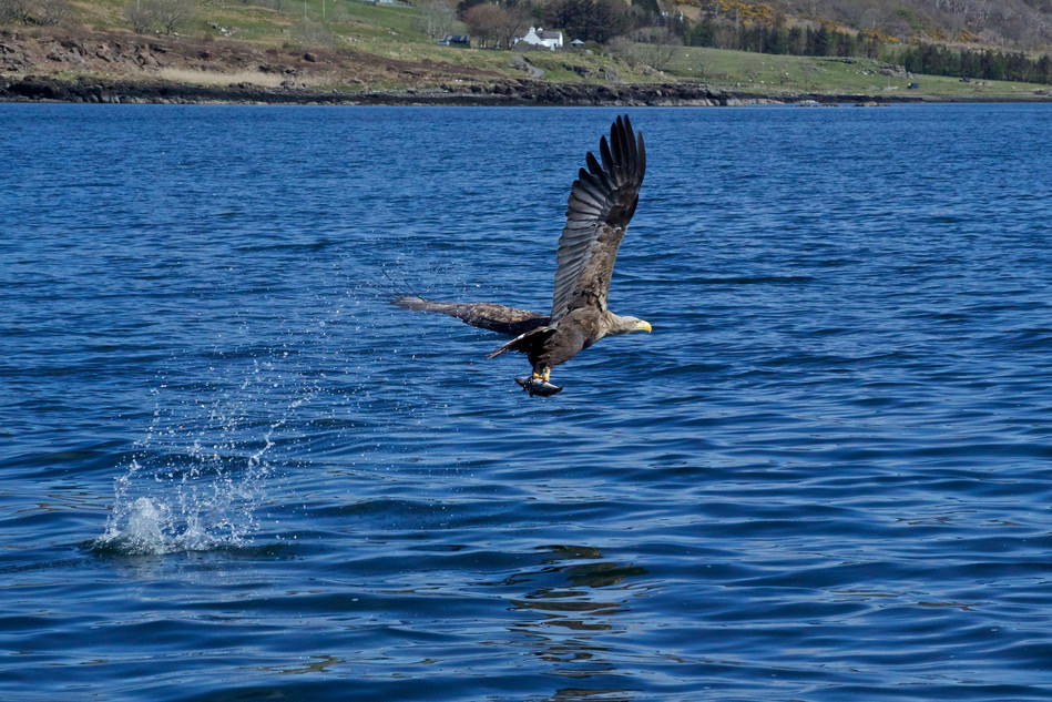 White-tailed eagle catching fish at Loch Na Keal