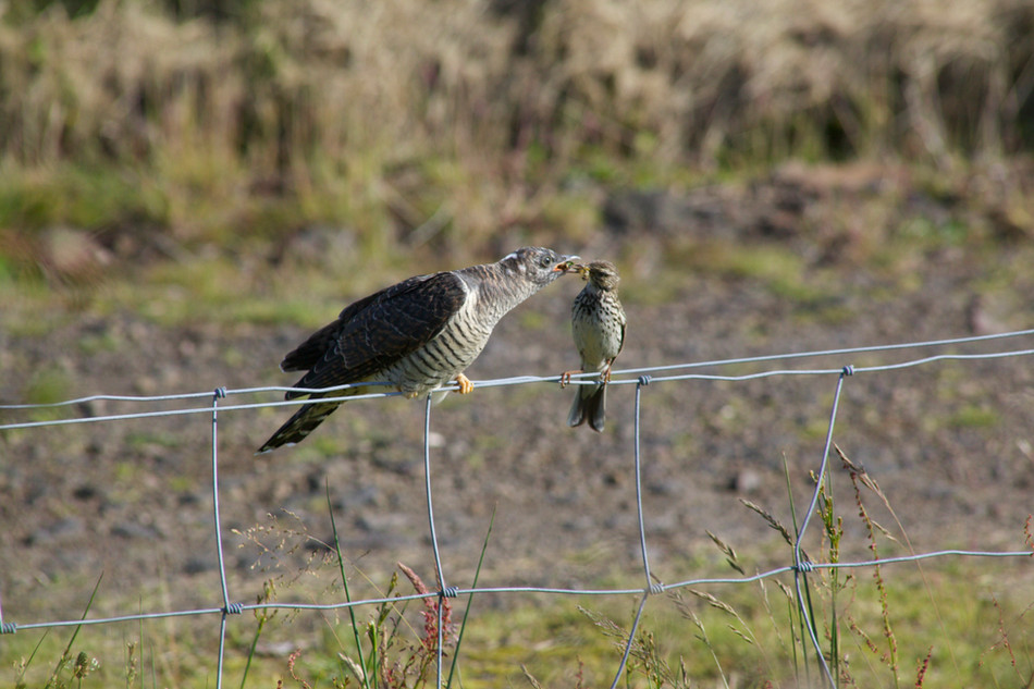 Meadow Pipit feeding Cuckoo at Crannich