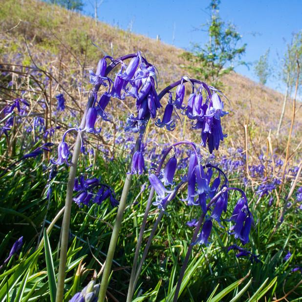 Bluebells on Crannich hillside