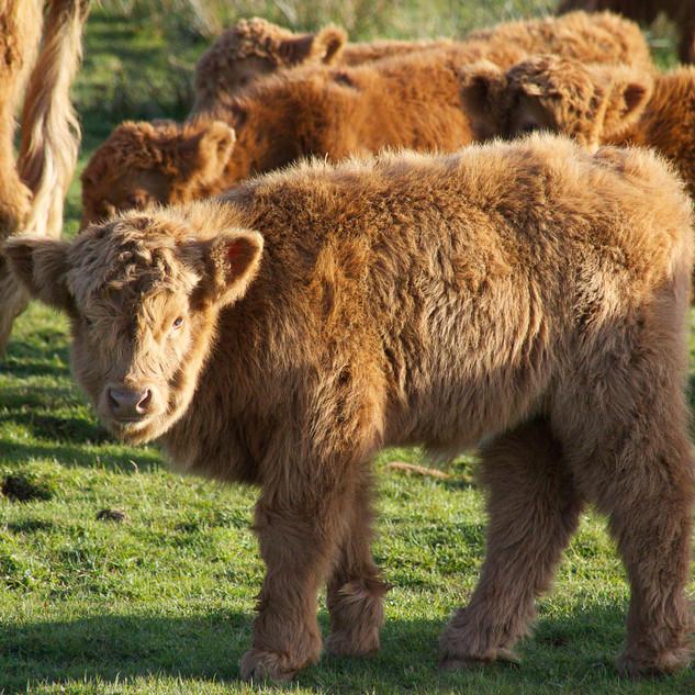 Calves galore