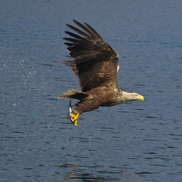 White-tailed eagle at Loch Na Keal