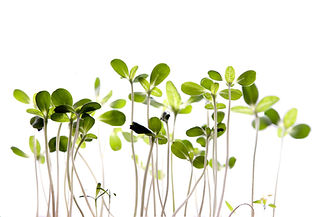 Sprouts Image