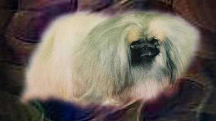 Frozen Semen: Am & Can MBPIS Ch Lionheart Outlaw