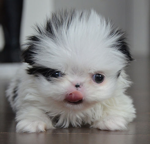Puppy tongue Jan 2019 .jpg