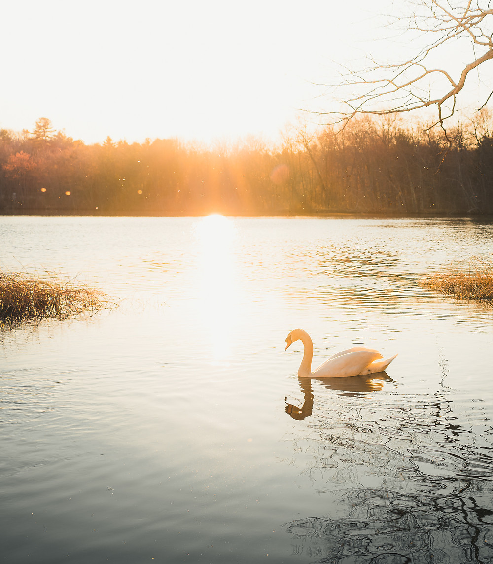 A swan surrounded by magical golden light