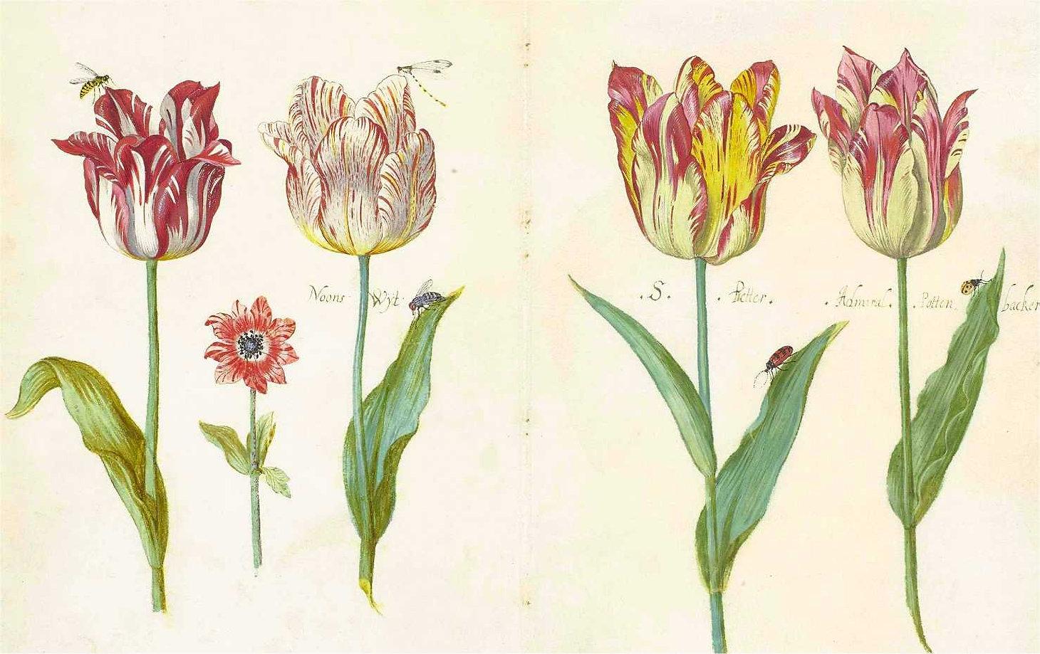 tulipes-livre-jacob marrel-circa 1640.jp