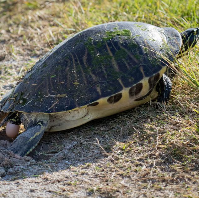 Schmuckschildkröte bei der Eiablage