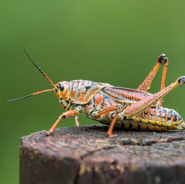 Kurzfühlerschrecke (Romalea guttata)