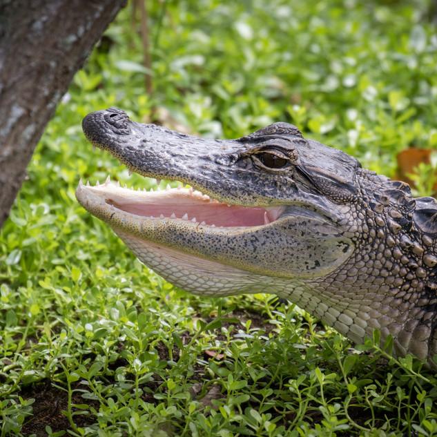 Missisippi-Alligator