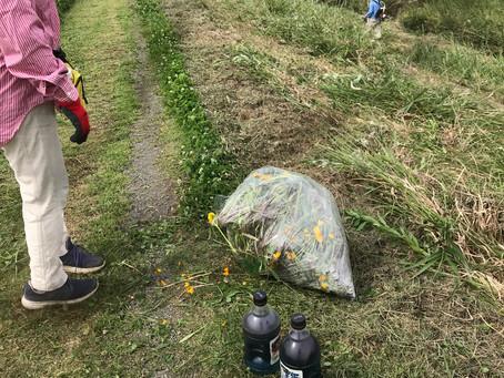 オオキンケイギクは草刈り前に撤去する。