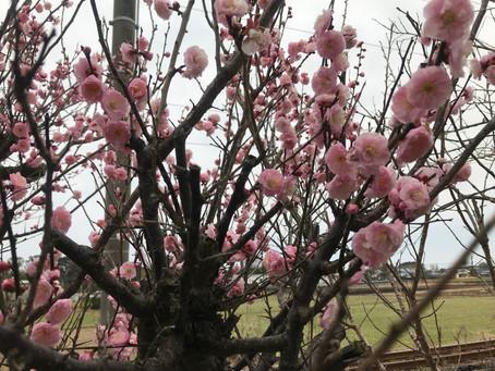 100歳の梅の花