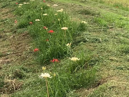 彼岸花があちこちで咲いていますね。山崎川の草刈りの後、2か月前に植えた彼岸花もちゃんと咲いていました。後ろのベンチもいい感じ。
