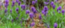 lavandin-essential-oil.jpg