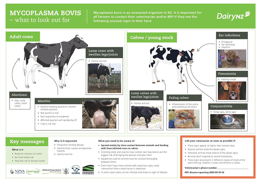 mycoplasma-bovis-what-to-look-out-for-a3