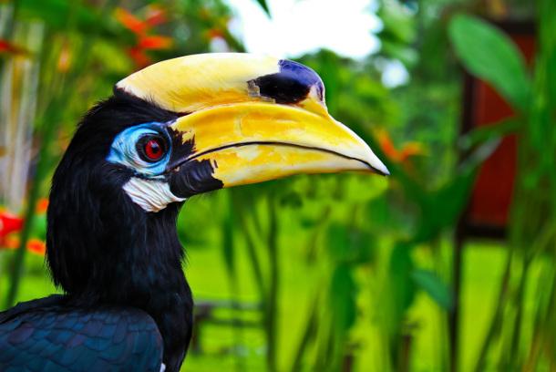 wreathedhornbill