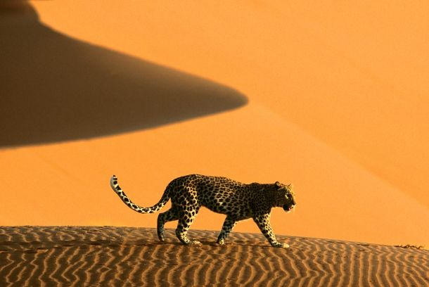 ghepardo_namibia_gallery