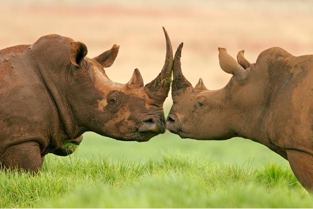 rinoceronti1