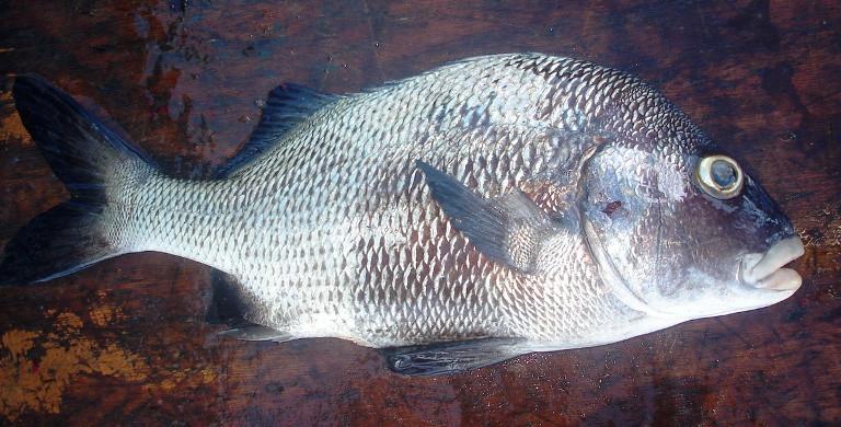 Sargo de Beiço - Sul da Bahia - Fronteira Sub