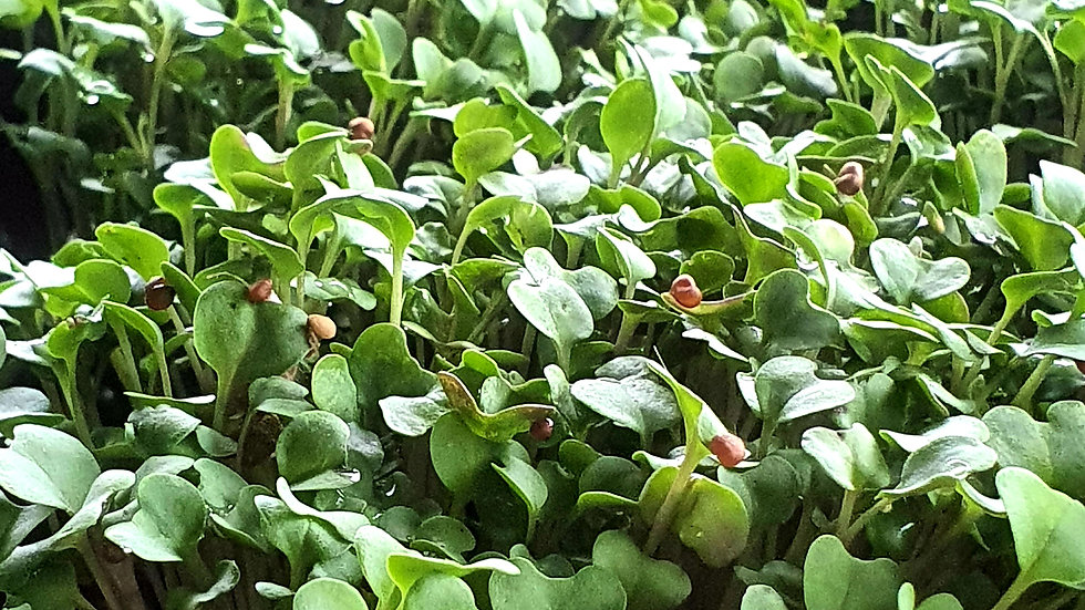Broccoli Micro-green Netpot