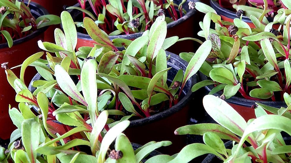 Silverbeet Micro-green Netpot