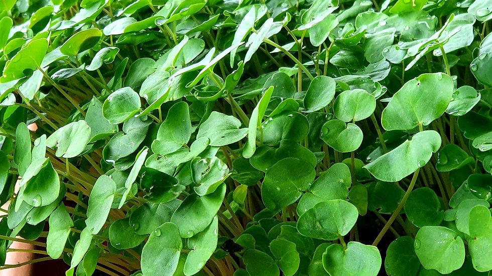 Buckwheat Micro-green Netpot