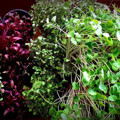 Our stunning netpot trays of 24 fresh assorted micro-greens.