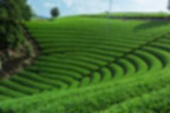 抹茶 茶畑 風景写真