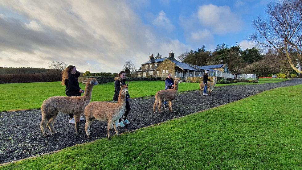 60 Minute Alpaca Trekking Gift Voucher