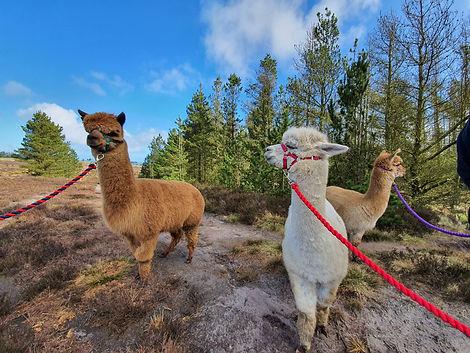 Alpaca Trekking1.jpg