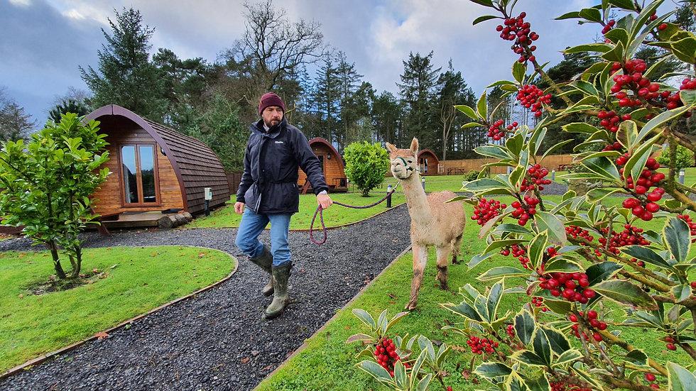 90 Minute Alpaca Trekking Gift Voucher