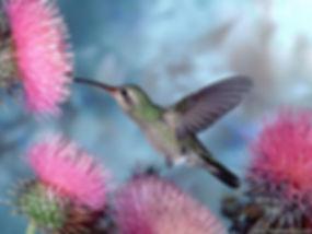 Humming-Bird-Wallpaper-hummingbirds-9725
