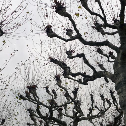 Plane Trees, Frankfurt 1