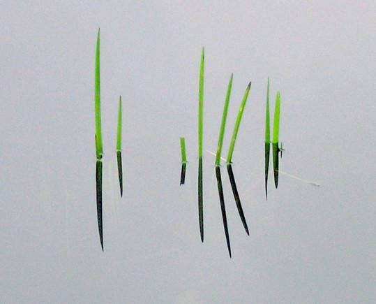 Green Reeds