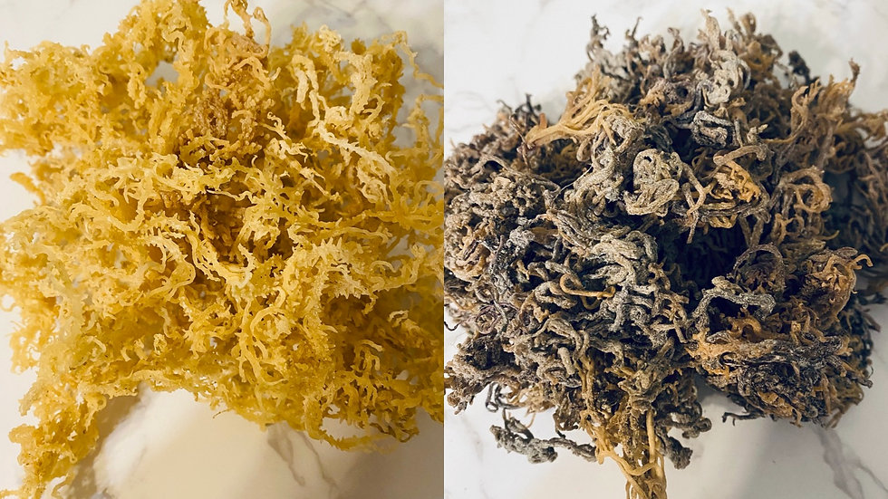 Raw Wildcrafted Sea Moss (1lb ea.) Golden and Multicolored